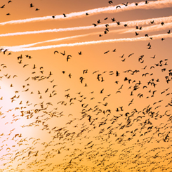 migration-sun-birds-245